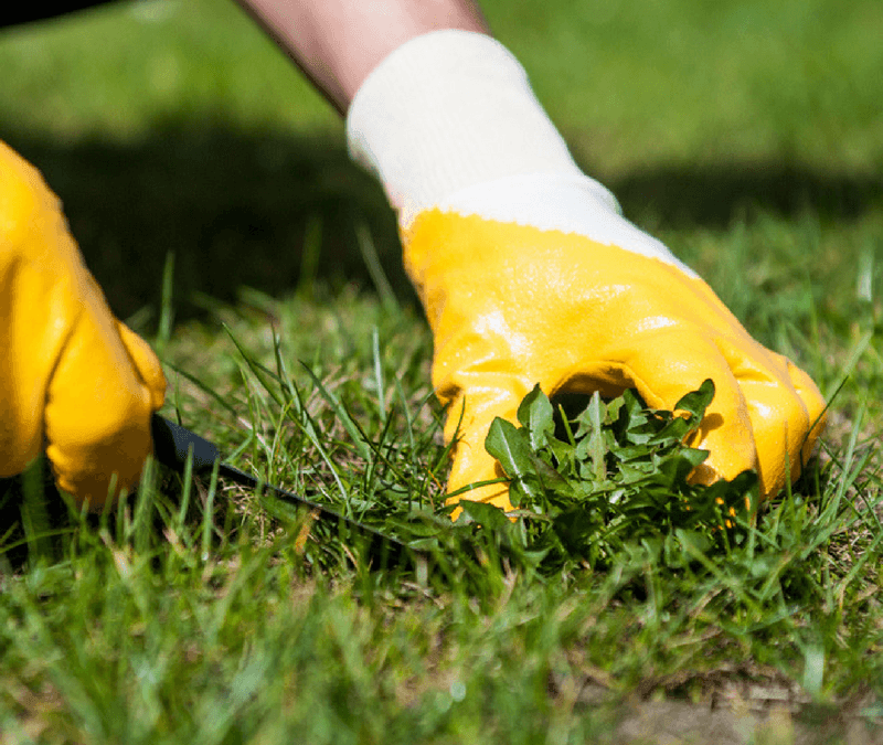 crabgrass control is important for the health of your lawn