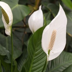 easy to care for peace lily plant