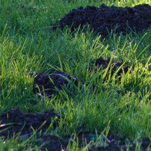 ways to prevent moles from your lawn