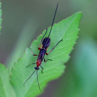 Braconid wasps are beneficial insects that will protect your garden and lawn from harmful lawn pests like caterpillars and aphids here in Duluth, GA.