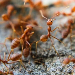 Identifying which ants are fire ants is the first step in fire ant control here in Duluth, GA.