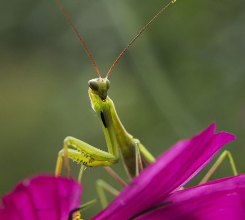 The praying mantis is an example of a beneficial insect here in Athens, GA.