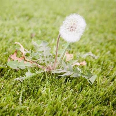 Dandelion and weed control is an essential step to any summer lawn care routine here in Athens, GA.