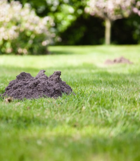 Prevent damage with yard mole removal