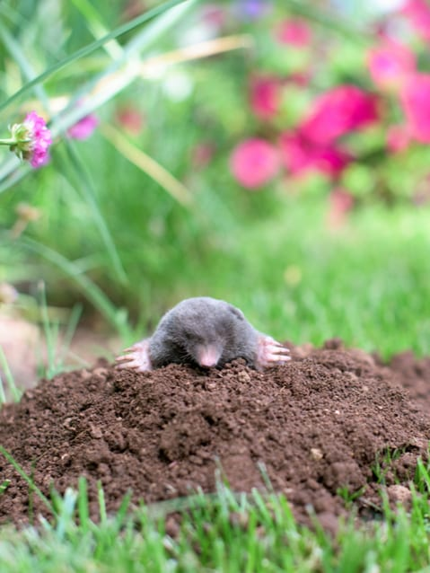mole in yard