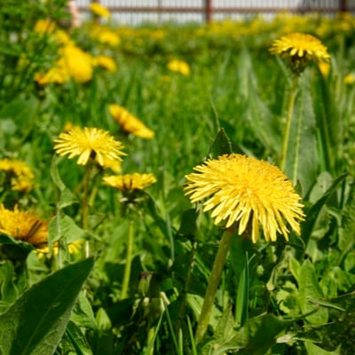 Weed control and prevention is an essential step of early spring lawn care so you can keep dandelions from invading your Georgia lawn.