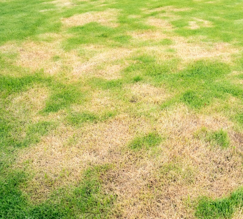 Protect your Athens, GA grass from lawn diseases like large patch.