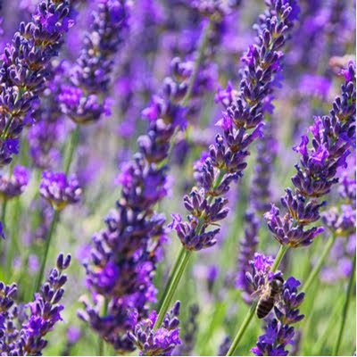 Boost your pest control services from Environmental Turf Management by planting lavender and other pest-repelling plants in your Georgia lawn.