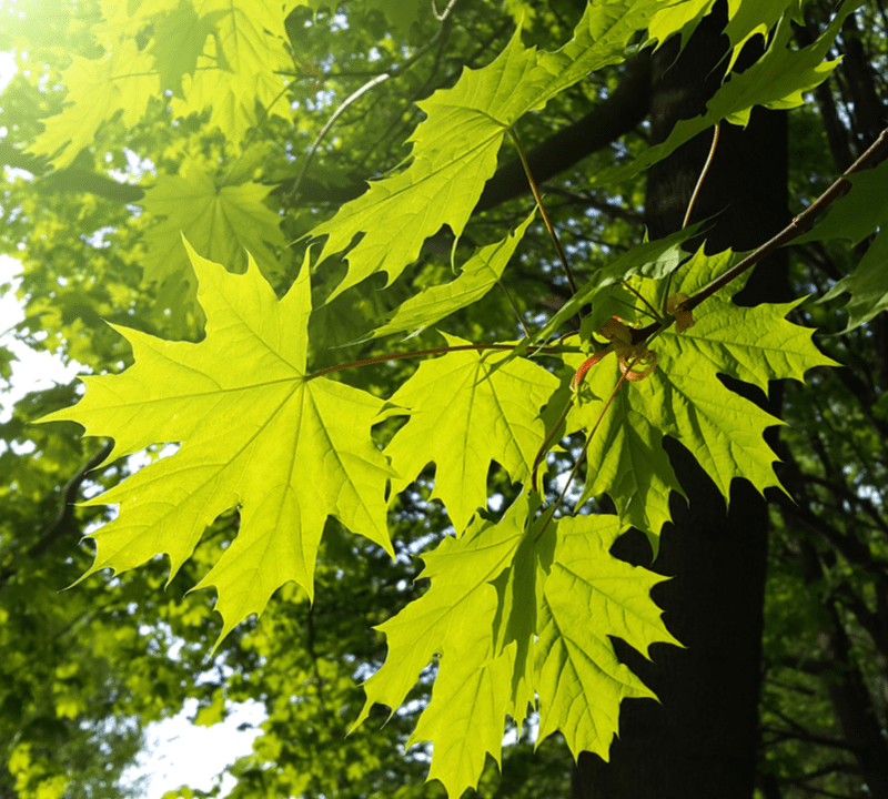maple leaves up close
