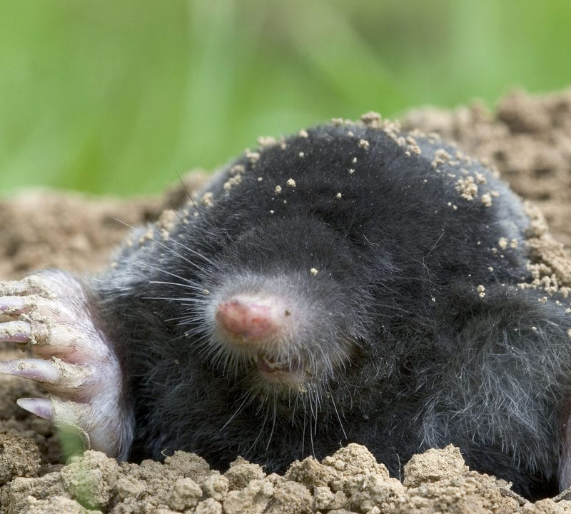 mole crawling out of the dirt