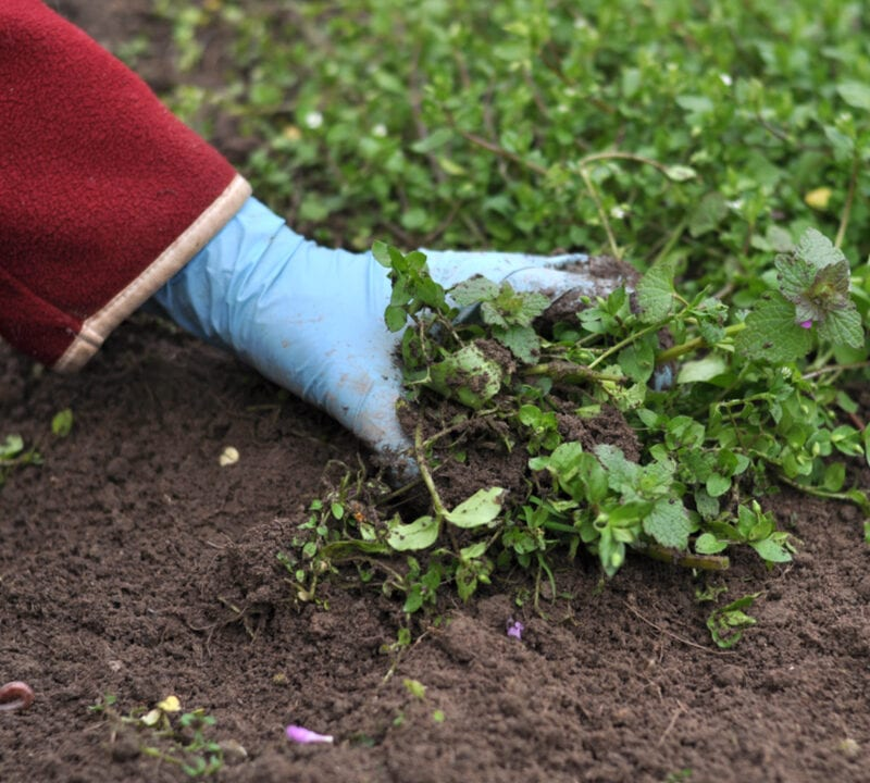 hand digging up weeds
